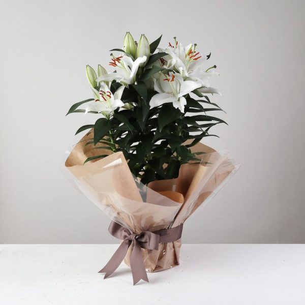 Gift Wrapped White Lily Plant - flowers
