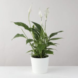 Peace Lily in White Ceramic Pot - flowers