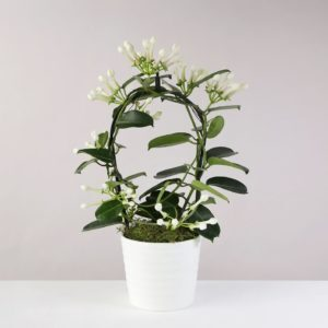 Stephanotis Planter - flowers