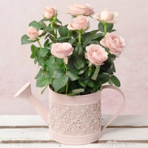Pink Rose in Watering Can